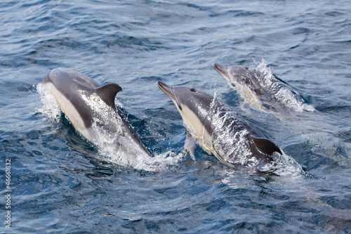 Staande foto Dolfijnen Common Dolphins swimming in ocean