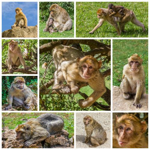 Fotografie, Obraz  Composition de photos de macaques