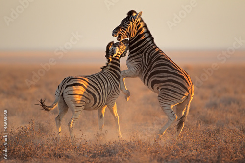 Canvas Prints Zebra Fighting Zebras, Etosha National Park