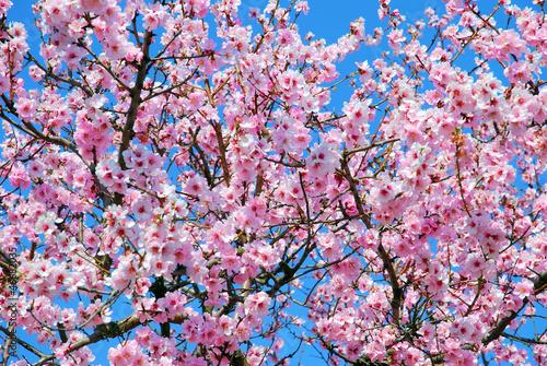 Photo  Prunus Dulcis oder Mandelbaum im Frühling