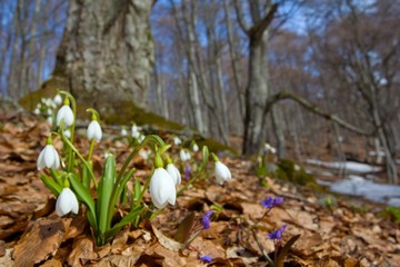 Fototapeta spring snowdrops in a forest