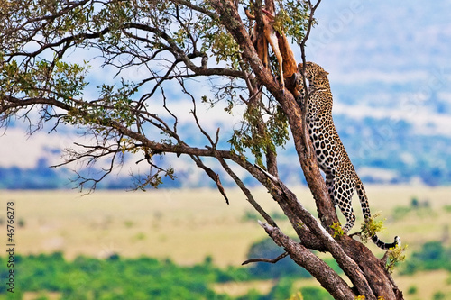 Wild leopard on the Maasai Mara, Kenya, Africa