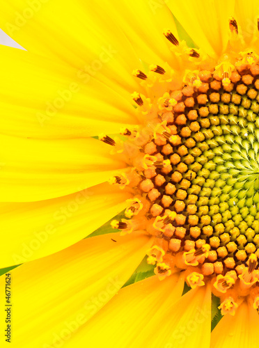 Sunflower - 46771624