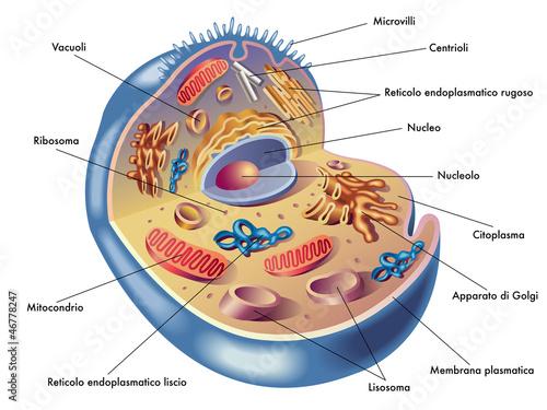 cellula umana Poster Mural XXL