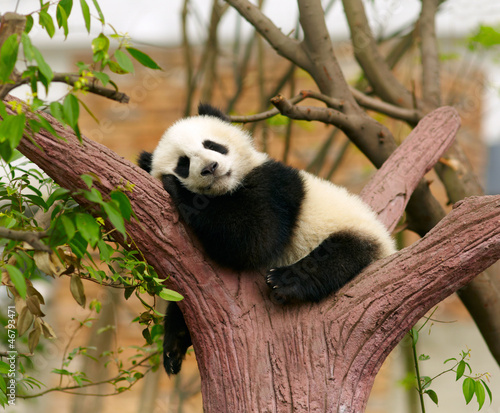 Photo Sleeping giant panda baby