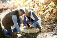 Senior Couple In Forest Picking Mushrooms