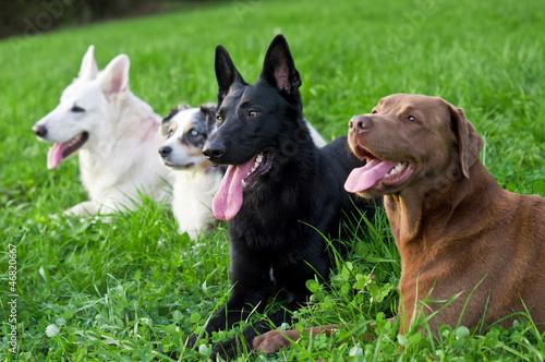 Vier ausgepowerte Hunde Fototapete