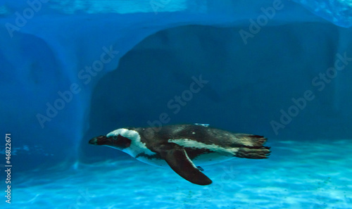 Poster Pingouin Humboldt penguin (Spheniscus humboldti) quickly swimming under b