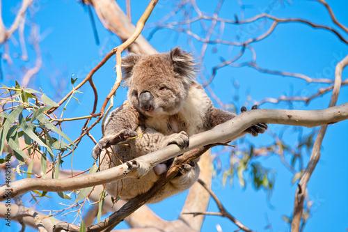 Garden Poster Koala koala tree hand