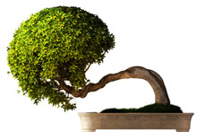 Bonsai Tree Side View With A W...