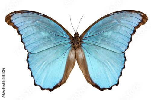 Fotografie, Obraz  Butterfly species Morpho menelaus alexandrovna