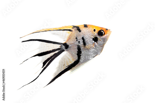 Angelfish (Pterophyllum scalare) in profile isolated on white Canvas Print