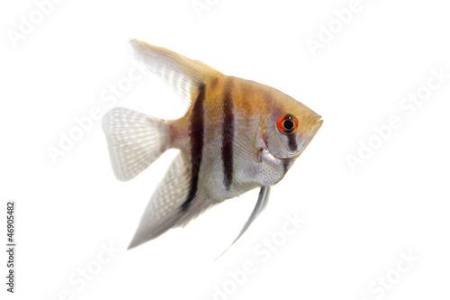 Fotografie, Obraz  Angelfish (Pterophyllum scalare) in profile isolated on white