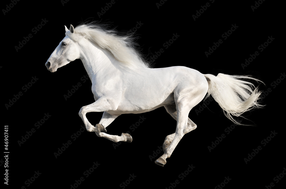 Fototapety, obrazy: White horse runs gallop isolated on the black