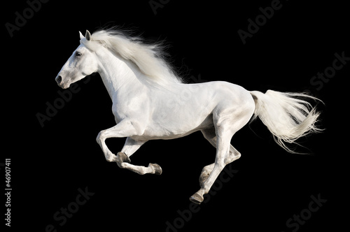 Foto op Canvas Paarden White horse runs gallop isolated on the black