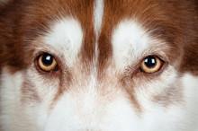 Dog Eyes Close Up