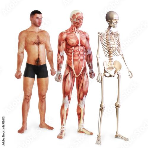 Fotografie, Obraz Male illustration of skin, muscle and skeletal systems