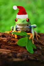 Rotaugenlaubfrosch Mit Weihnac...