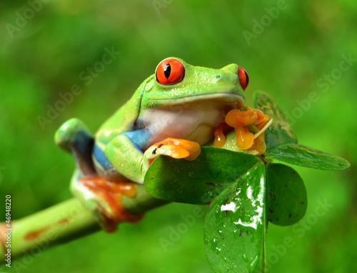 Tuinposter Kikker Rotaugenlaubfrosch Agalychnis callidryas