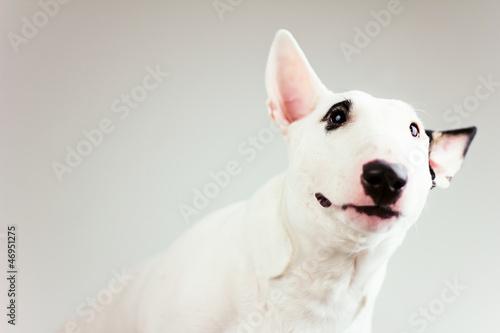 Fotografie, Tablou curious bull terrier