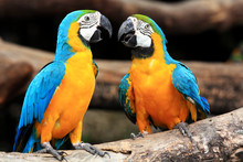 Couple Blue-and-yellow Macaws ...