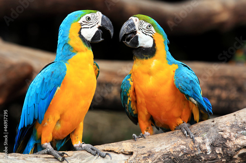 Couple blue-and-yellow macaws (Ara ararauna) #46957295