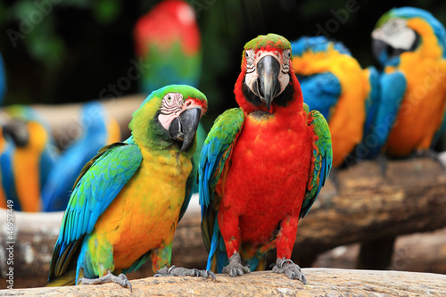 Couple Scarlet macaw and Blue-and-yellow macaw (Ara ararauna