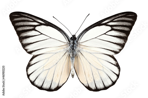 Poster Vlinder Butterfly species Prioneris philonome