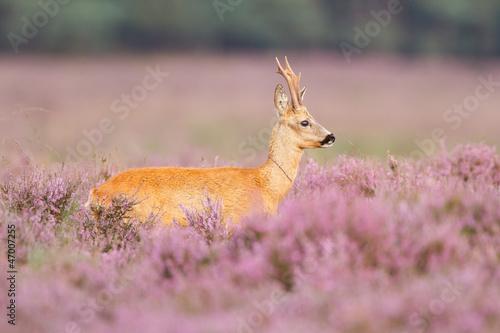 Garden Poster Roe A roe deer in a field of heather