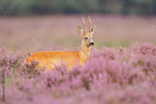 Poster Roe A roe deer in a field of heather