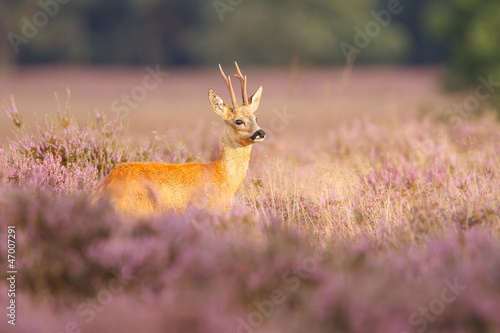Deurstickers Ree A roe deer in a field of heather