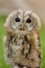 Young  Tawny Owl Or Brown Owl