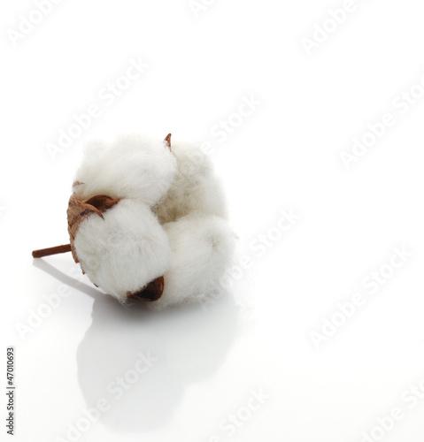 Foto op Plexiglas Magnolia Baumwollblüte solo macro