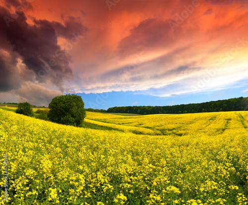 Staande foto Meloen Dramatic Summer Landscape with a field of yellow flowers. Sunset