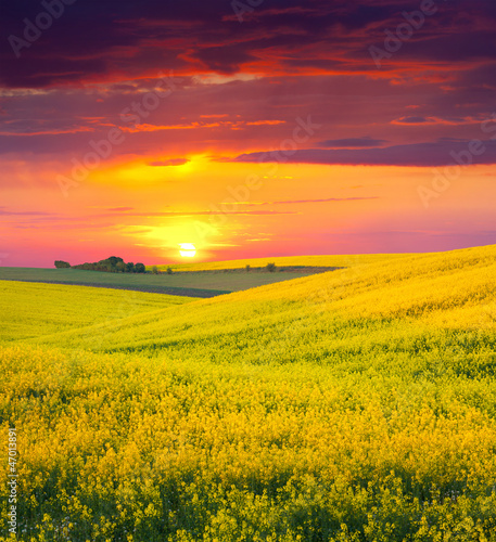 Tuinposter Crimson Summer Landscape with a field of yellow flowers. Sunset