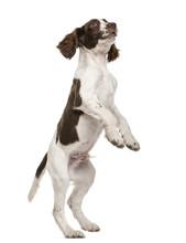 English Springer Spaniel Standing On Hind Legs