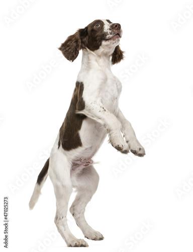 Fotografia, Obraz English Springer Spaniel standing on hind legs