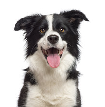 Close-up Of Border Collie, 1.5 Years Old, Looking At Camera