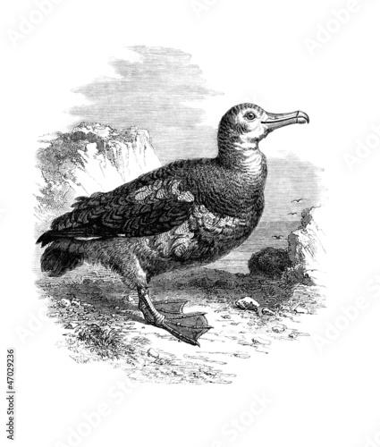 Obraz na plátně  Albatros - Albatrosses