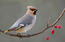Bohemian Waxwing Perched On A ...