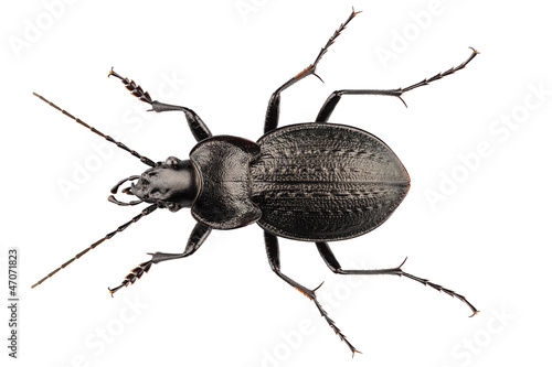 Photographie Espèces de coléoptères carabus coriaceus
