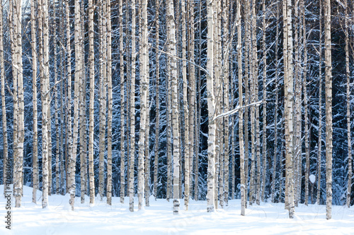 Canvas Prints Birch Grove Snowy birches