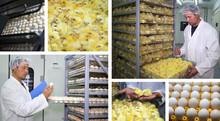 Chicken Farm - Incubator, Eggs And Baby Chicken