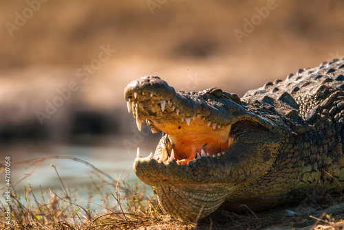Crocodile baring teeth
