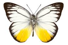 """Butterfly Species Cepora Judith """"orange Gull"""""""