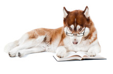 Brown Siberian Husky In Specs Reading A Book
