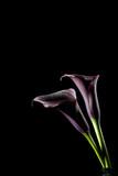 Calla lila