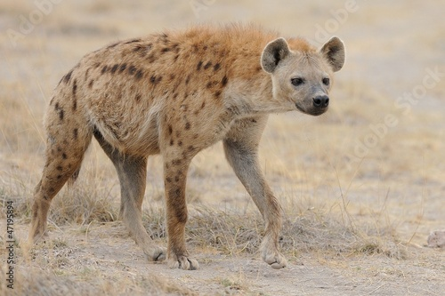 Staande foto Hyena Iena Maculata
