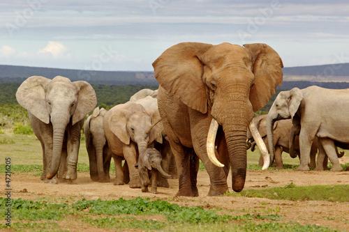 Poster Olifant Elephant Herd