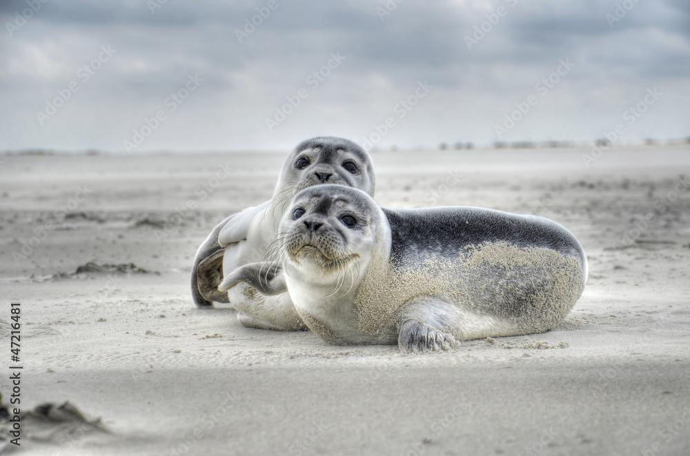 Fototapety, obrazy: Seehund